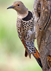 210-northern_flicker